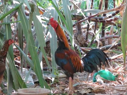 Reglerna är stränga för vilka djur som kan hållas i Yangon och gerilla-gardening är inte att tänka på. Militären äger.